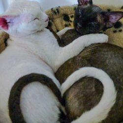White Devon Rex and Dark Sphynx create heart shape