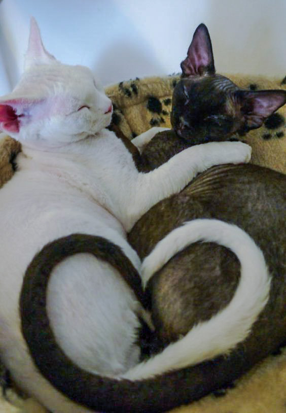 White Devon Rex and Dark Sphynx create heart shape
