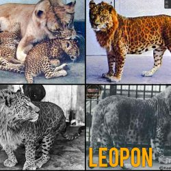 What is a leopon?