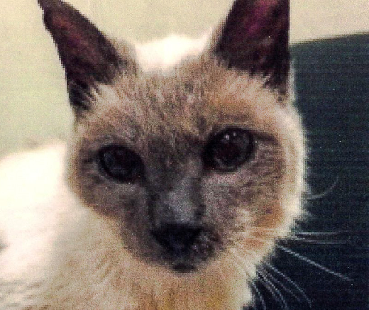 The oldest Siamese cat