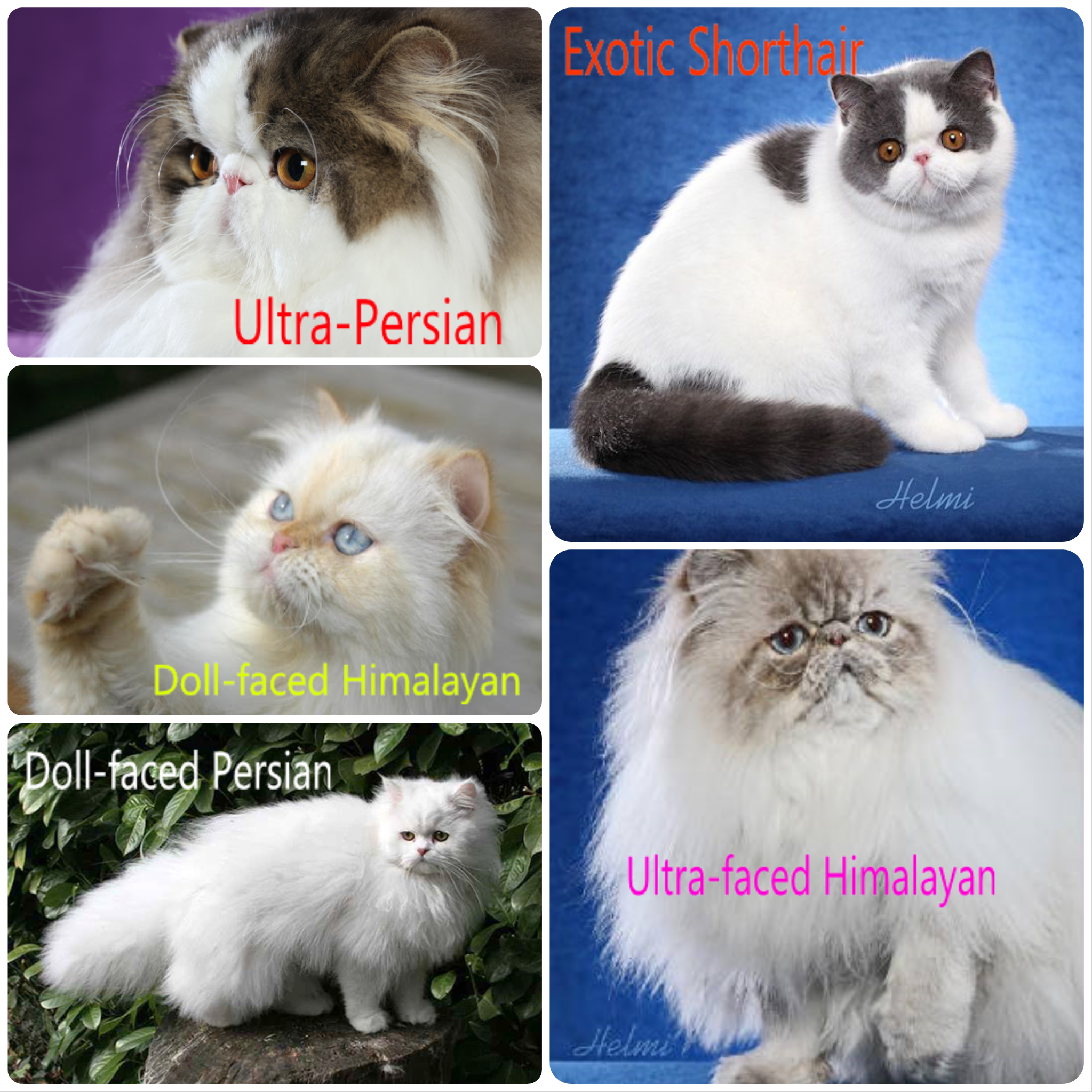 Types of persian cat