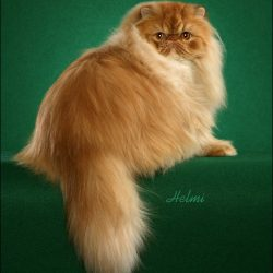 What is the worst cat breed?