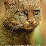 Jaguarundi showing strong ticked tabby coat