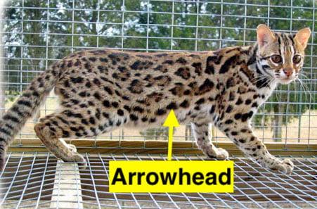 Asian leopard cat showing arrowhead marking