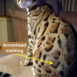 Bengal cat with great coat of clear arrowhead markings