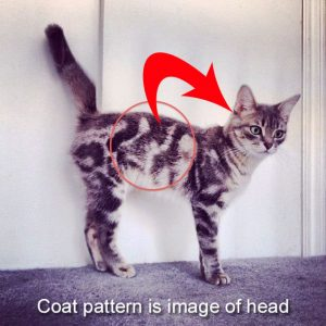 Coat pattern is image of cat's head and shoulders