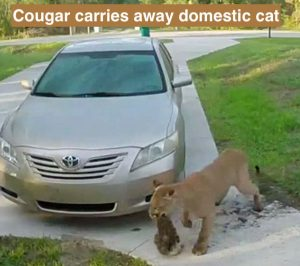 Cougar attacks domestic cat in driveway