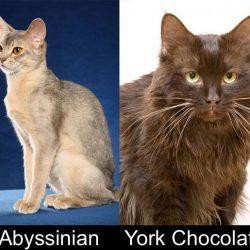 Dates and places of origin of cat breeds