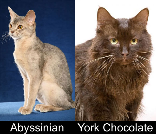 Dates and places of origin of cat breeds