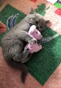 Defensive kitten refuses to release his cat toy