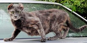 Dilute tortoiseshell cat with wild face and broken ears