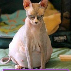 Feline superfetation