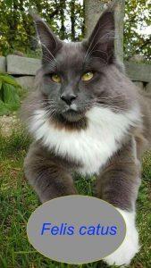What does felis catus mean?