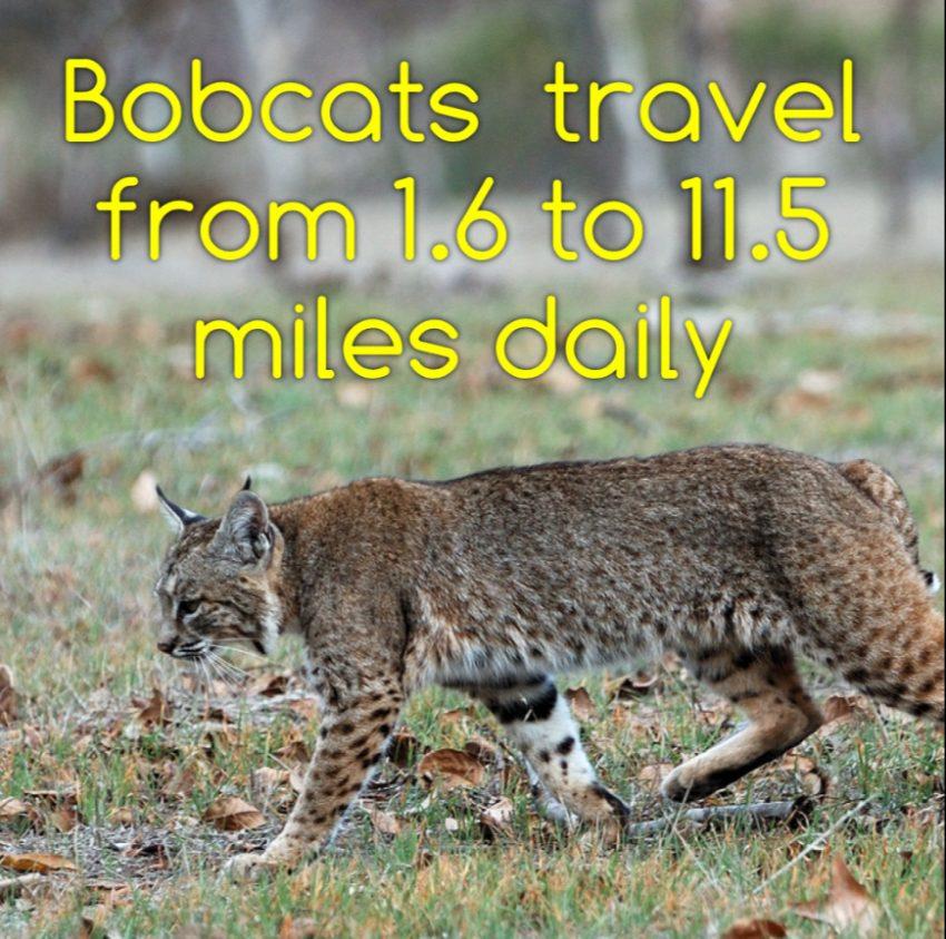 How far do bobcats travel a day?