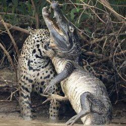 Picture of jaguar killing caiman