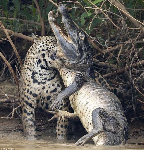 Picture of jaguar killing caiman