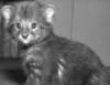 Jaguarundi cub