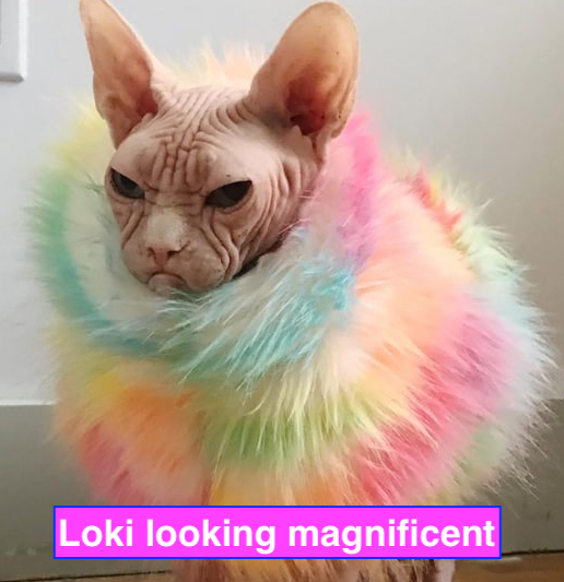 Loki, the celebrity Sphynx cat died soon after teeth cleaning