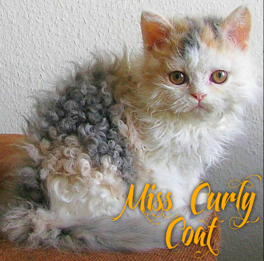 Picture of kitten who had a beautiful perm