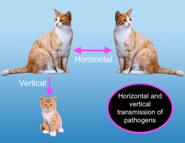 Horizontal and vertical transmission of disease in cats
