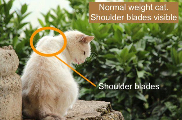 Visible shoulder blades on cat sitting