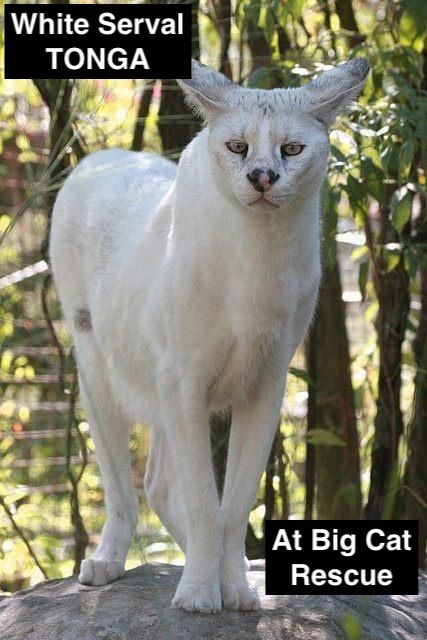 Picture of White Serval