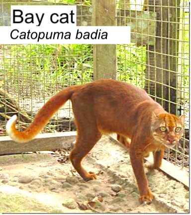 Bay cat