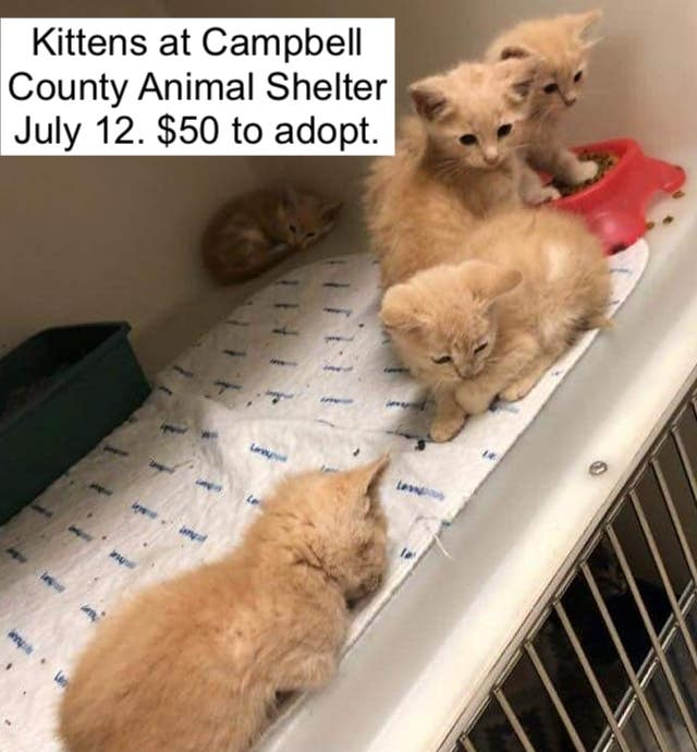 Campbell County Animal Shelter kittens