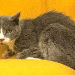 Feline hyperthyroidism in cats