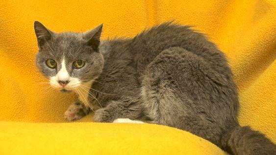 Does Feline hyperthyroidism cause pain?