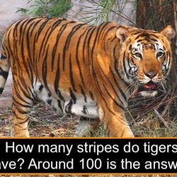 How many stripes do tigers have?