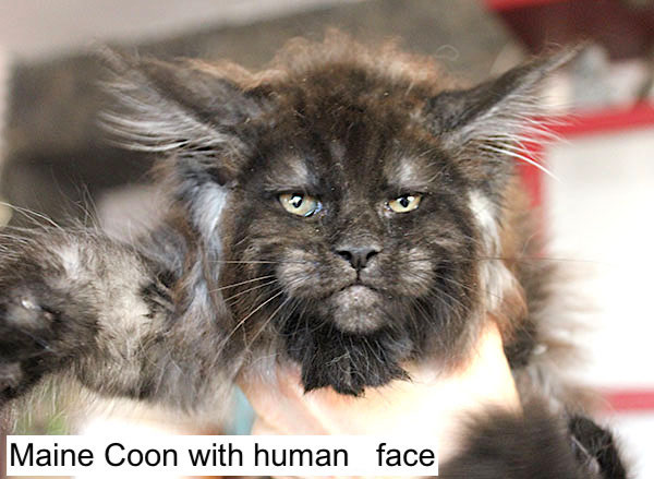 Maine Coon with human face