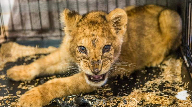 King - a lion cub rescued from appalling conditions in a Paris apartment