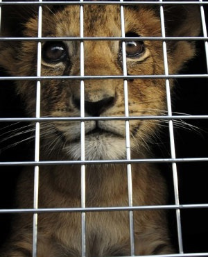King - a lion cub rescued from a Paris apartment