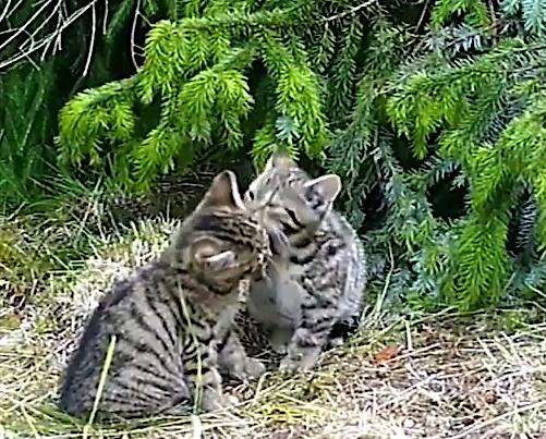 Scottish wildcat kittens playing