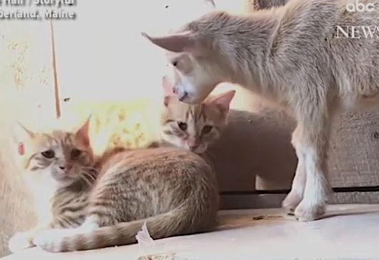 Newborn goat makes friends with barn cats