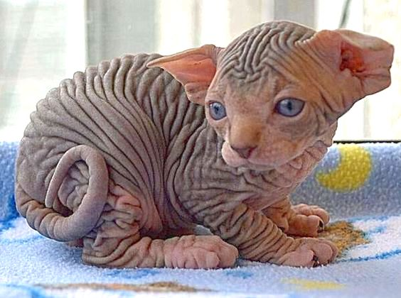 Picture of Sphynx cat