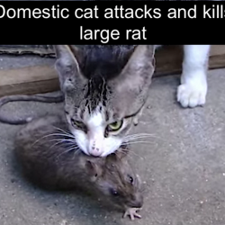 Cat attacks and kills large rat
