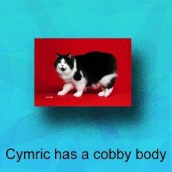 The Cymric cat has a cobby body