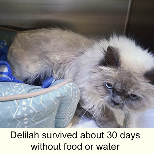 Delilah a Himalayan cat survived about 30 days without food or water