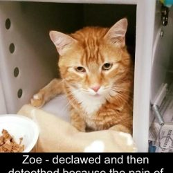 Detoothed cat because he bit because he was declawed
