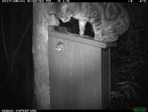 Feral cat hounding a Leadbeater's possum
