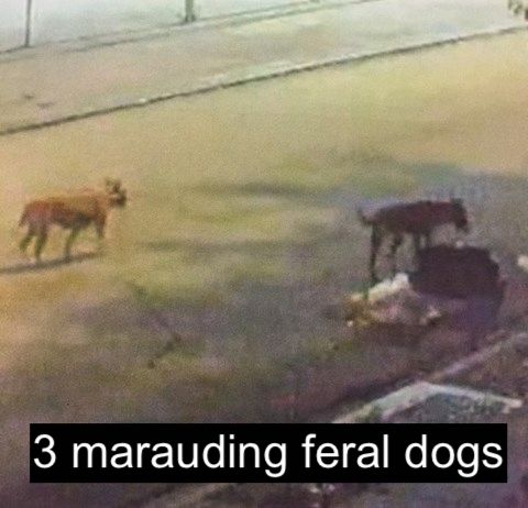 Three marauding feral dogs Mobile USA