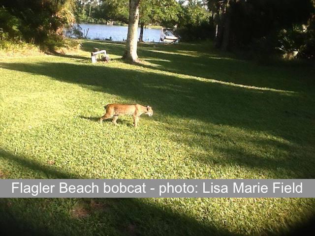 Flagler Beach bobcat