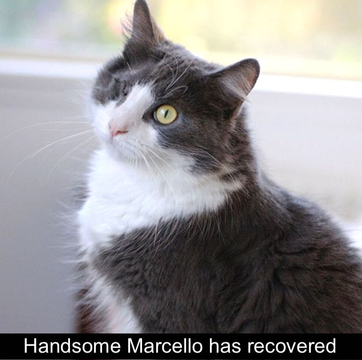 Handsome Marcello an abused cat has recovered