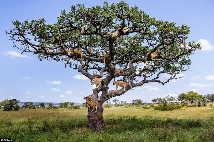 Picture of lions sleeping in a tree