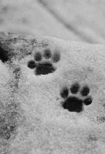 Pictures of cat paw prints