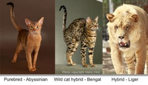 Comparing purebred and hybrid using cats