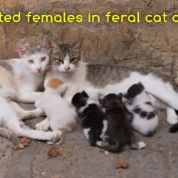 Related females in feral cat colony