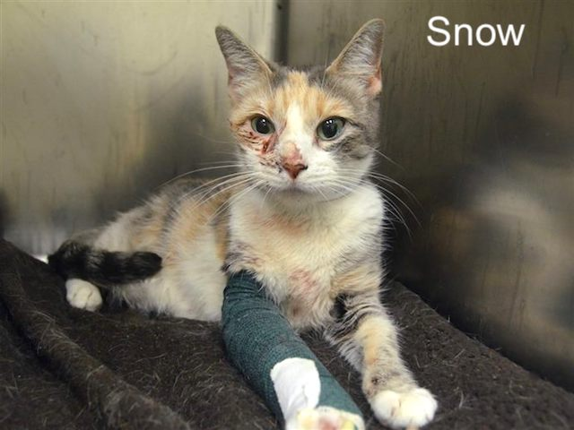 Snow a stray cat injured and in need of TLC and a new home